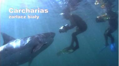 Carcharias - żarłacz biały